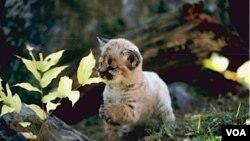 El puma concolor –también conocido como león de la montaña- es una especie nativa de América.