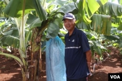 Chinese businessman Chen Zhiqang is pictured at a banana farm in Ou Reang Ov district, Tboung Khmum province, Cambodia, on July 23, 2020. (Sun Narin/VOA Khmer)