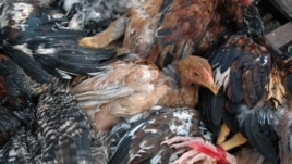 Chickens trussed and ready for sale at Chhbar Ampov market in Phnom Penh. (Robert Carmichael/VOA)