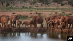 Illegal Ivory Traffic Continues
