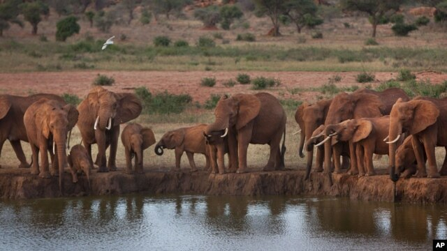 Elephants gather at dusk to drink at a watering hole in Tsavo East National Park, Kenya. (file)