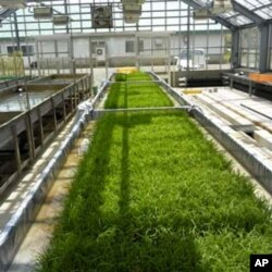 New salt-tolerant rice varieties are doing well in greenhouse experiments.