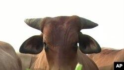 Само во Америка: козјо наместо телешко?
