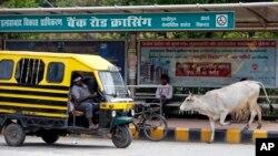 هندوها گاو را مقدس می دانند.