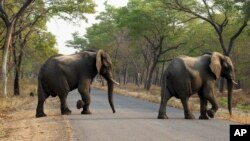 FILE -- Elephants cross a road in the Hwange National Park, Zimbabwe, Oct. 1, 2015. Zimbabwe's wildlife agency said Jan. 5, 2017, it sold 35 elephants to China to ease overpopulation and raise funds for conservation, amid criticism from animal welfare activists that such sales are unethical.