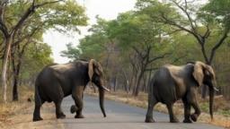 Des éléphants au Zimbabwe (illustration)