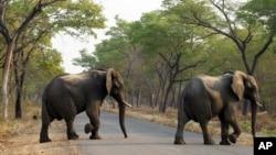 津巴布韋野生動物公園內的大象 - 資料照片