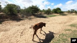 FILE - Impoverished cattle walk along a dried-up riverbed in Chivi, Zimbabwe, Jan. 29, 2016. Severe weather patterns battered the area, including the heavily agricultural nation of Mozambique.