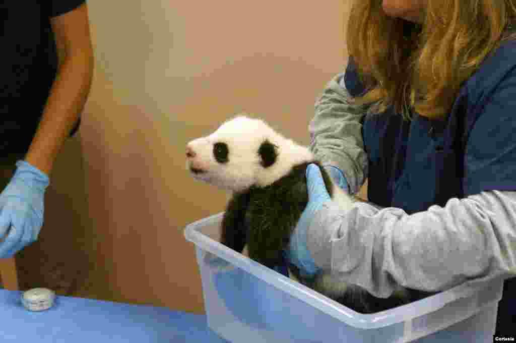 La bebé panda nació el pasado 23 de agosto en el Zoológico Nacional de Washington.