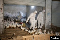 FILE - Health officials in protective suits transport sacks of poultry as part of preventive measures against the H7N9 bird flu at a poultry market in Zhuji, Zhejiang province, China, Jan. 6, 2014.