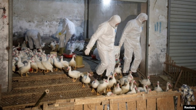 Health officials in protective suits transport sacks of poultry as part of preventive measures against the H7N9 bird flu at a poultry market in Zhuji, Zhejiang province, China, Jan. 6, 2014.