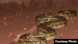 Sebuah studi baru menunjukkan bahwa ular boa Kuba berburu dalam kelompok. (Vladimir Dinets)