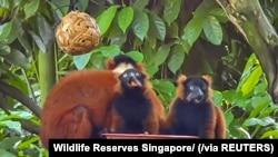 Kukang berleher merah kembar yang lahir pada Februari tampa di Kebun Binatang Singapura, Juni 2020. (Foto: Wildlife Reserves Singapore via Reuters)