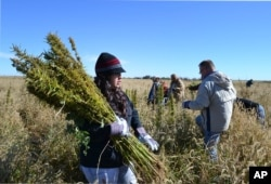 In this Oct. 5, 2013 photo, volunteers harvest hemp at a farm in Springfield, Colo. during the first known harvest of industrial hemp in the U.S. since the 1950s.
