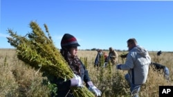 In this Oct. 5, 2013 photo, volunteers harvest hemp at a farm in Springfield, Colo. during the first known harvest of industrial hemp in the U.S. since the 1950s. America is one of hemp's fastest-growing markets, with imports largely coming from China and