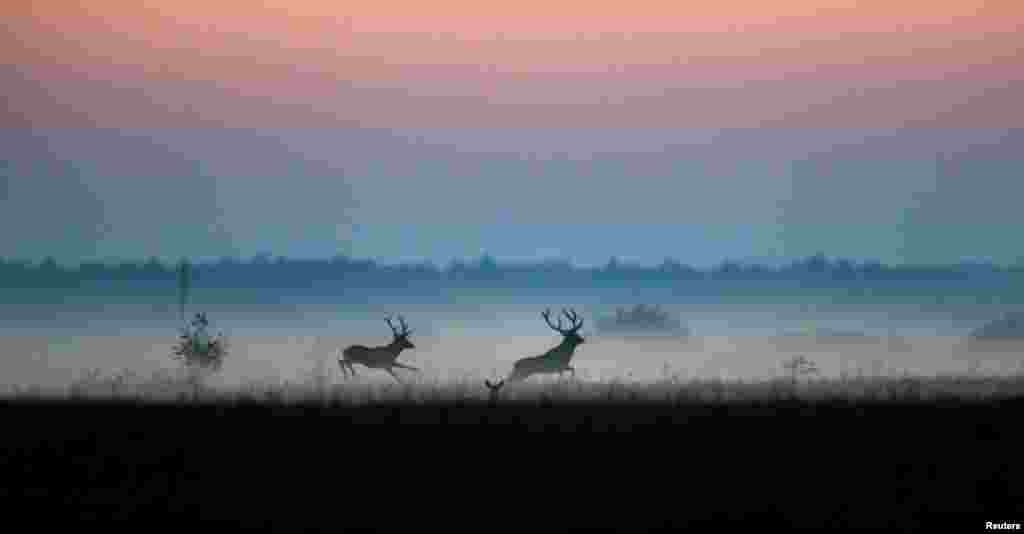 "Male deer run in a field in Republican landscape reserve ""Naliboksky"" near the village of Kozliki, Belarus."