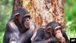 A very small genetic difference between humans and chimpanzees may help explain why chimpanzees can't speak, but humans can