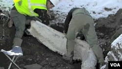 Los científicos de Colorado has rescatado más de 600 huesos provenientes de la Edad de Hielo.