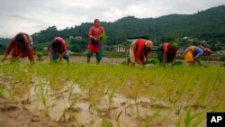 Nepalese farmers plant rice saplings in a paddy field during Asar Pandra, or paddy planting day in Lele, Lalitpur, Nepal, Friday, June 29, 2018. (AP Photo/Niranjan Shrestha)