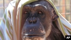The United States is the only country in the world that still allows federally-funded medical experiments on chimpanzees.
