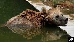 Ведмеді розминаються після сплячки у бельгійському зоопарку. Відео