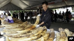 ศุลกากรไทยจับกุมงาช้างผิดกฎหมายจากอาฟริกาครั้งใหญ่มูลค่าสูงสุดเป็นประวัติการณ์