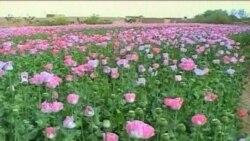 آفتی مرموز تولید تریاک در افغانستان را کاهش می دهد
