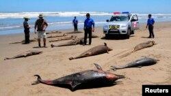 Ratusan lumba-lumba di AS mati akibat terinfeksi oleh morbillivirus, yang melemahkan kekebalan tubuh mereka (foto: dok).