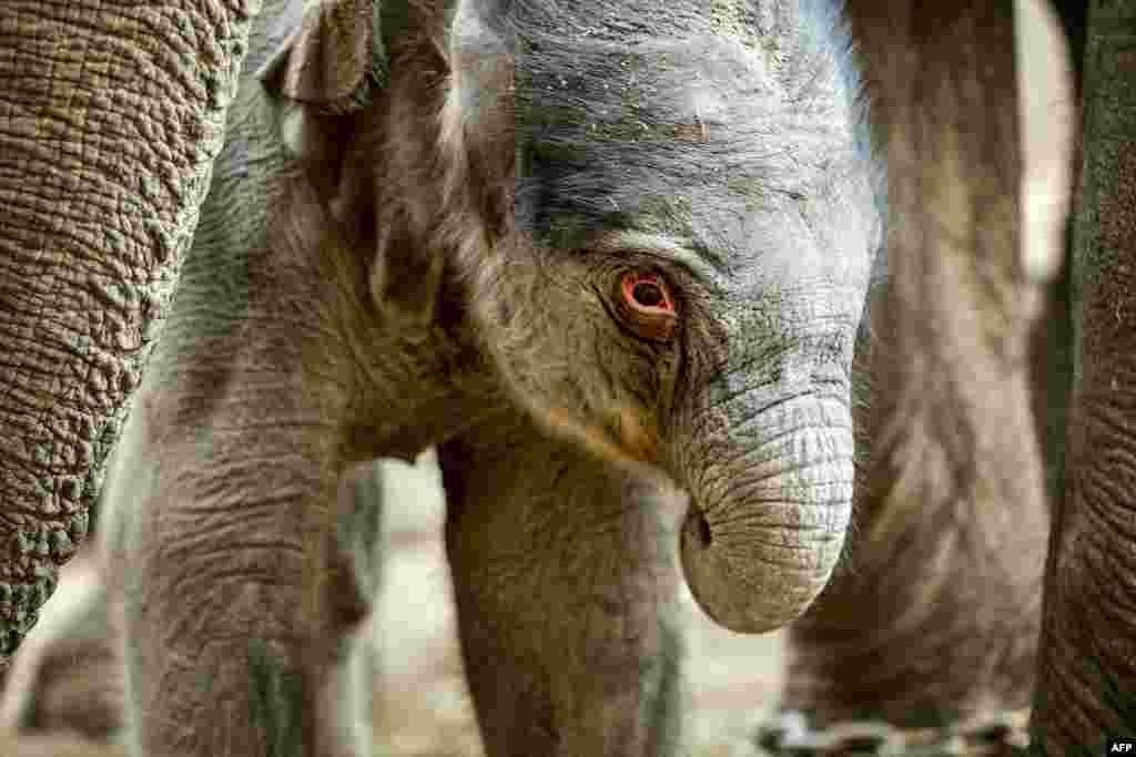 丹麥哥本哈根動物園中一頭早上剛剛出生的小象. (AFP)