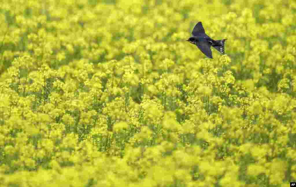 A bird flies over a yellow flowering mustard field in Daugendorf, Germany.