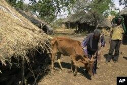 Worku Tegegne menggembala sapinya di Lembah Ghiba, baratdaya Addis Ababa, Ethiopia, dimana sapinya menderita bovine trypanosomosis atau yang dikenal di daerah setepmapt sebagai penyakit Gendi, yang ditularkan oleh lalat-lalat tsetse.