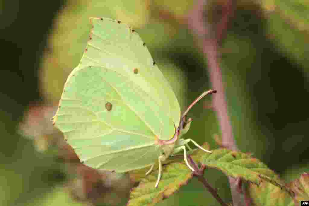 A handout picture released, Sept. 23, 2020 by Andrew Bladon of University of Cambridge shows a Brimstone Gonepteryx rhamni butterfly.