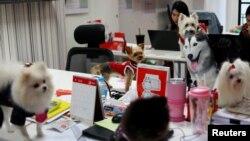 Beberapa anjing peliharaan di kantor agensi iklan di Bangkok yang mendorong karyawan membawa hewan kesayangan ke kantor, Bangkok, Thailand, 27 September 2018.