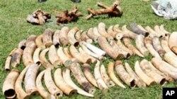Pihak berwenang Kenya menyita sedikitnya dua ton gading gajah ilegal di pelabuhan Mombasa, Kenya dalam satu peti kemas yang bertujuan ke Indonesia., Rabu, Januari 16, 2013. (AP Photo / Khalil Senosi)