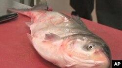ทางการอิลลินอยกำลังรณรงค์ให้คนกินปลาคารฟเอเชียเพื่อแก้ปัญหาปลาพันธุ์นี้ล้นแม่น้ำ