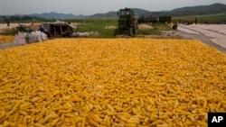 북한 개성 근교 농경지의 옥수수를 추수하는 농부들. (자료사진)