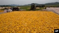 지난 2012년 9워북한 개성인근 농장에서 수확한 옥수수를 말리고 있다.. (자료사진)