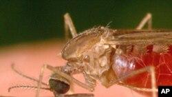Ana yada kwayoyin cutar Malaria ta macen sauro kamar wan nan da aka gani awan nan hoto.