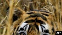 13 vende të Azisë nënshkruajnë marrëveshja për të mbrojtur tigrin e egër