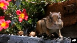 In this file photo, an Eastern Chipmunk fills it's cheeks with nuts and seeds on a front porch in Lawrence, Kan., Thursday, July 10, 2014. (AP Photo/Orlin Wagner)