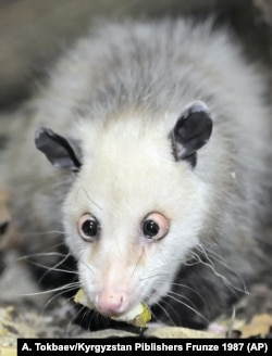 In Germany, there are cross-eyed opossums.