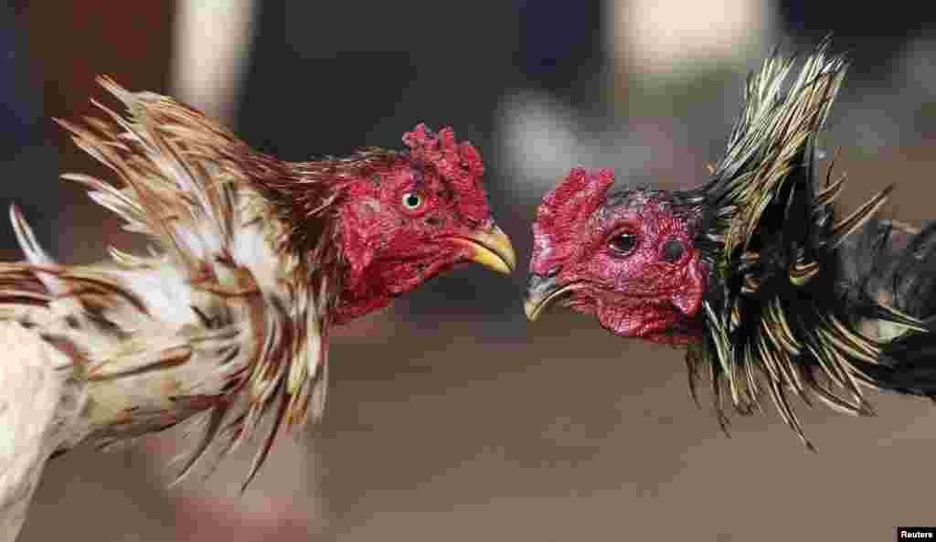 مرغ بازی کے ہر ہفتے مقابلے ہوتے ہیں جن میں سینکڑوں کی تعداد میں افراد شرکت کرتے ہیں۔