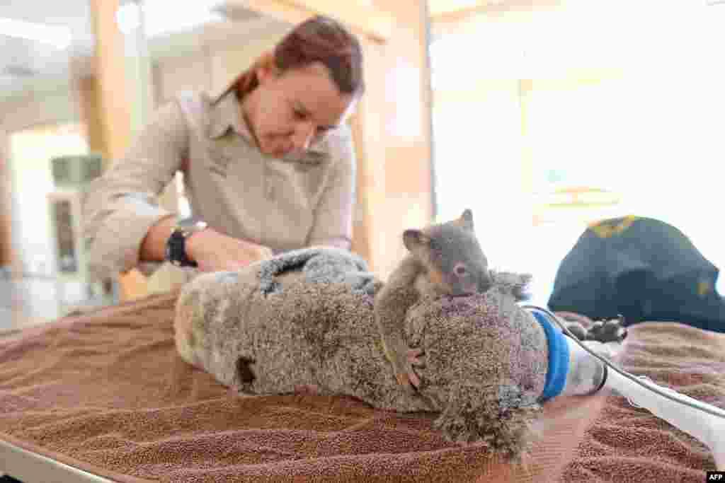 Con gấu koala con ôm lấy mẹ nó trong khi bác sĩ thực hiện một ca giải phẫu tại Bệnh viện Động vật Hoang dã ở bang Queensland, Australia. Con gấu mẹ được đưa vào bệnh viện sau khi nó bị một chiếc xe hơi tông trên đường cao tốc gần Warrego Coominya, phía tây Brisbane. (Hình: Ben Beaden)