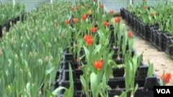 All blooms at Fresh Tulips USA are grown hydroponically, without using soil.