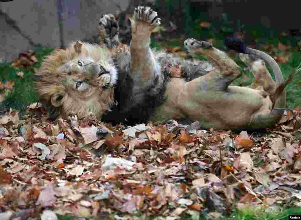 영국 런던 동물원에서 아시아 사자가 나뭇잎 위를 구르고 있다.