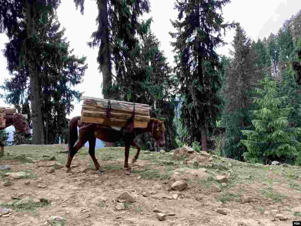 درختوں کی کٹائی کی وجہ سے خاص طور پر پوگل پریستان کا فاریسٹ رینج اور کشمیر وادی کے مغرب میں کیلر سے لے کر توسہ میدان تک کے علاقےزیادہ متاثر ہوئے ہیں۔