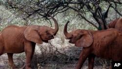 2019年8月28日大象在肯尼亚内罗毕的大卫谢尔德里克野生动物院玩耍。