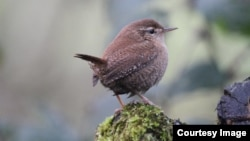 A new study shows that many wrens and other common birds in the U.S. and Europe are adapting well to climate change. But the news isn't so good for other birds. (Credit: Dr. Stephen Willis, Durham University)