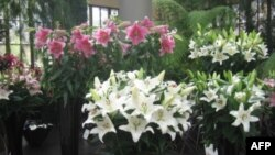 «...Лилея горделива в роскошной красоте цветет»