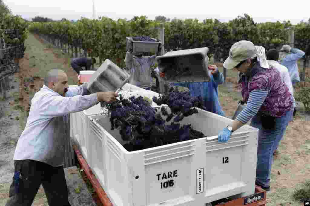 Lao động nông nghiệp ở Vườn nho Lee đổ nho vào thùng trong ngày thu hoạch đầu tiên tại xưởng làm rượu Saintsbury ở Napa, bang California, Mỹ.